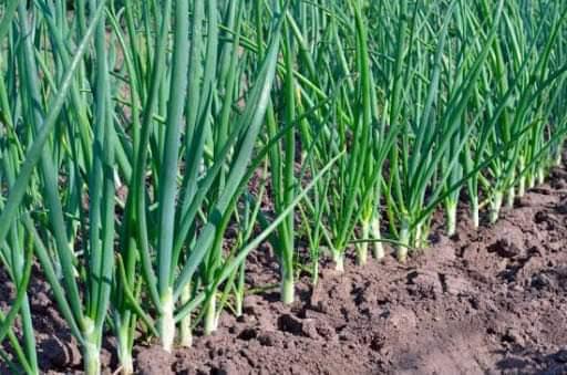 Рецепты приготовления кабачков и утилизации зелёного лука